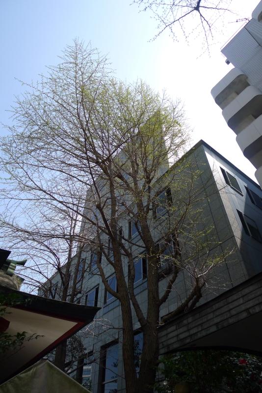 三崎稲荷神社の銀杏の木