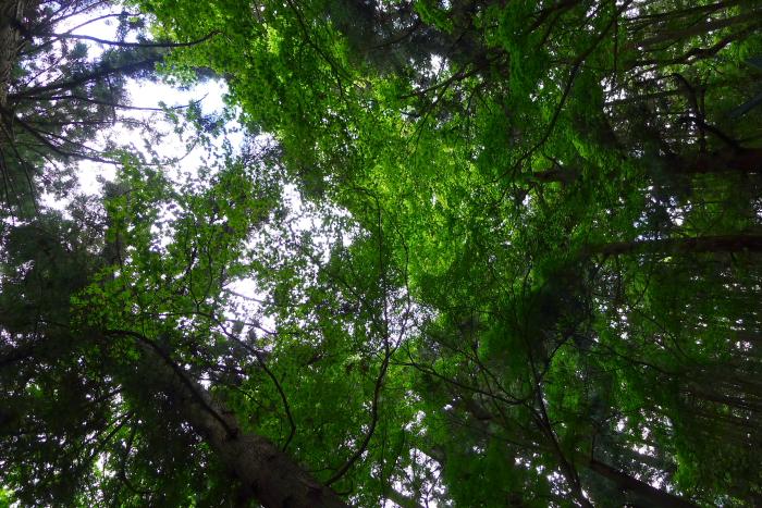 宝登山神社奥宮境内に鬱蒼と繁る木々