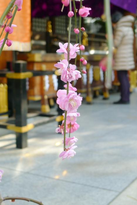 東京大神宮のしだれ梅