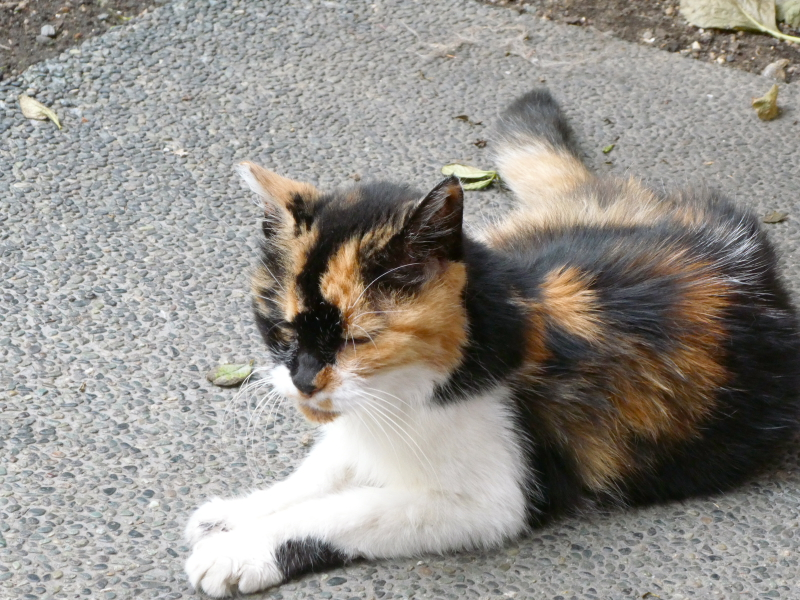 台東区_蔵前神社の猫