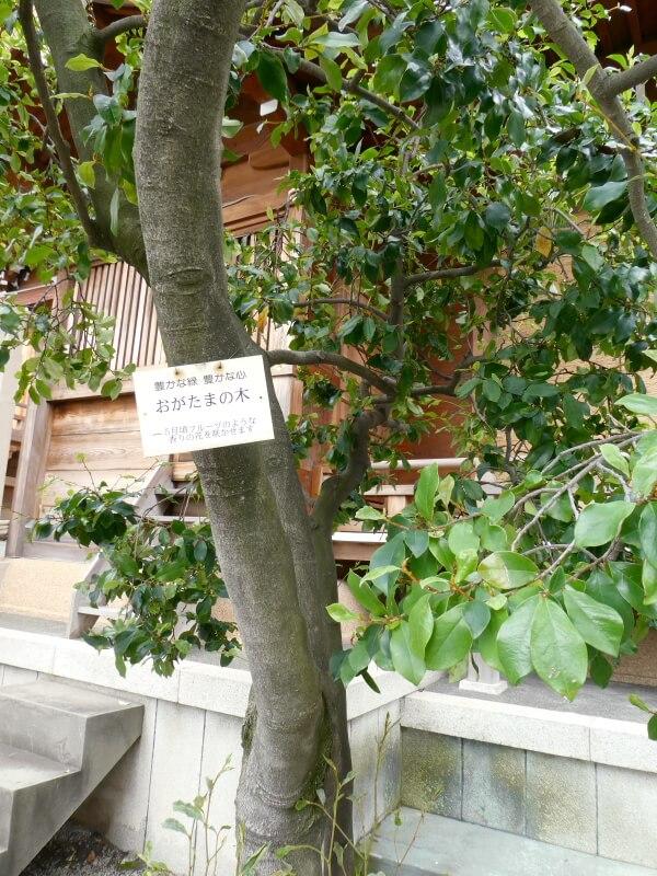 目黒大鳥神社 おがたまの木